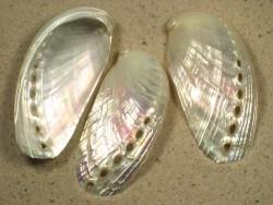Abalone Haliotis asinina Perlmutt 5,5+cm