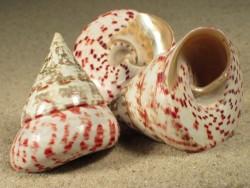 Tectus conus polished 5+cm