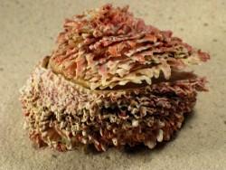 Chama brassica PH 6,5+cm
