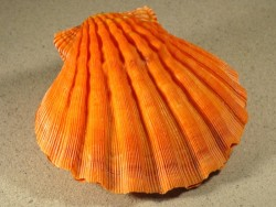 Lyropecten subnodosus orange 13,5+cm
