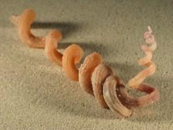 Siliquaria armata 7,5+cm