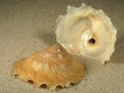 Onustus exutus PH 5+cm