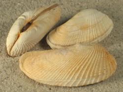 Petricola pholadiformis DK 4+cm