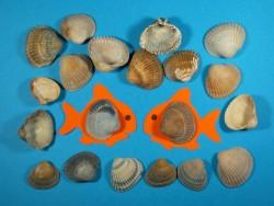 Fossile Herzmuschel 1/2 2,5-3,5cm (x20)