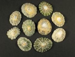 Schüsselschnecke 2-3cm (x10)