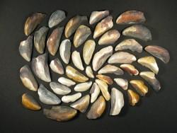 Fossilisierte Miesmuschel-Stücke