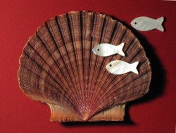 Mexican Buttercup shell 1/2 flat 7-9,5cm