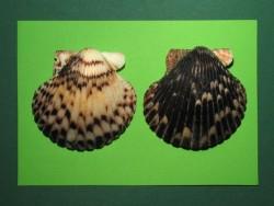 Mexikanische Kamm-Muschel schwarz-weiß 4,5-6cm (x2)