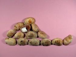 Pantoffelschnecke (x5)
