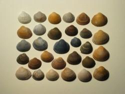 Fossile Herzmuschel 1/2 1,5-2,5cm (x30)