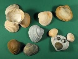 Fossile Herzmuschel 1/2 3,5-4,5cm (x10)