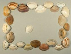 Fossile Trogmuschel 1/2 1,5-3cm (x25)