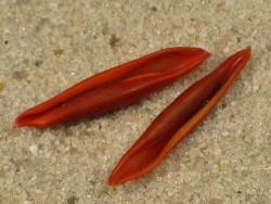Aclyvolva lanceolata PH 1,2+cm