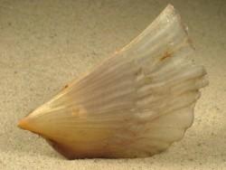 Pinna saccata PH 8+cm