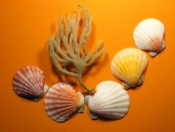 Fähnchenmuschel 1/2 4-6cm (x5)