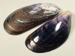 Miesmuschel 4-5cm (x5)