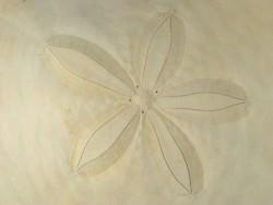 Echinodiscus auritus PH 14+cm