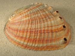 Haliotis gigantea 12+cm