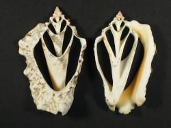 Strombus lentiginosus Gehäuseschnitt 5,5+cm