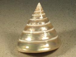 Tectus pyramis Perlmutt 7+cm