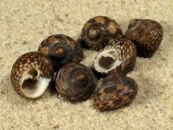 Clanculus jussieui FR-Mittelmeer 0,8+cm
