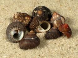 Clanculus cruciatus FR-Mittelmeer 0,8+cm