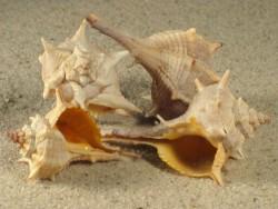 Bolinus brandaris FR-Mittelmeer 4,5+cm