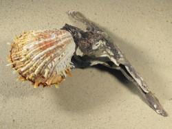 Spondylus variegatus auf Malleus malleus PH 20cm *Unikat*
