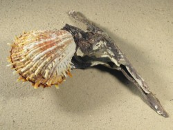 Muschel Spondylus variegatus auf Malleus malleus PH 20cm groß *Unikat*