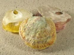 Anomia ephippium FR-Mittelmeer 4+cm