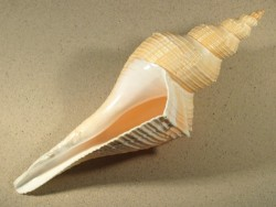Hemifusus colosseus 30+cm