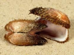 Barbatia barbata FR-Mittelmeer 2,5+cm
