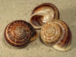 Eobania vermiculata *gestreift* FR 2,5+cm