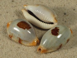 Cypraea stolida 2,2+cm