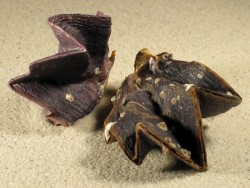 Muschel Lopha cristagalli PH 6+cm