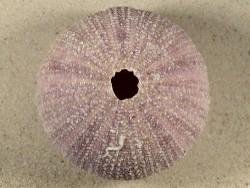 Sphaerechinus granularis HR 8,3cm *Unikat*