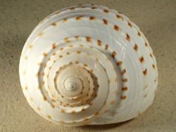 Schnecke Tonna dolium 11,5+cm