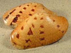 Paphia alapapilionis IN 7+cm