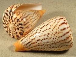 Conus suratensis 8+cm