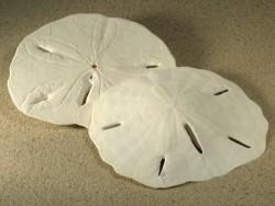 Großer  Sanddollar Mellita tenuis US 8+cm