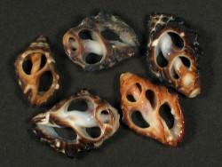 Tenguella granulata Gehäuseschnitt 1,2+cm