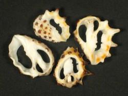 Drupa ricinus Gehäuseschnitt 1,5+cm