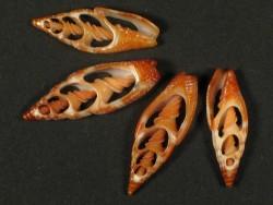 Vexillum granosum Gehäuseschnitt 2,5+cm