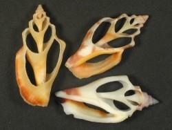 Canarium erythrinum Gehäuseschnitt
