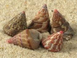 Jujubinus exasperatus FR-Mittelmeer 0,7+cm