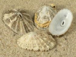 Diodora graeca FR-Mittelmeer 1,5+cm