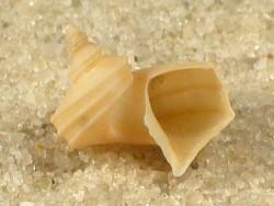 Separatista helicoides PH 1,2+cm