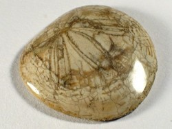 Dendraster gibbsii poliert - Fossil aus dem Pliozän US 3,6+cm
