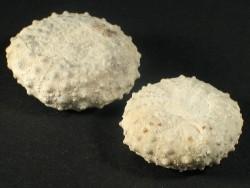 Phymosoma magnificum Kreide FR 3,5+cm