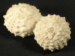 Goniopygus royanus - Fossil aus der Kreidezeit FR 1,3+cm